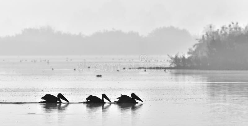 Pelikane schwimmen über dem Nebelschwarzweiss-Foto des Wassers morgens lizenzfreies stockfoto