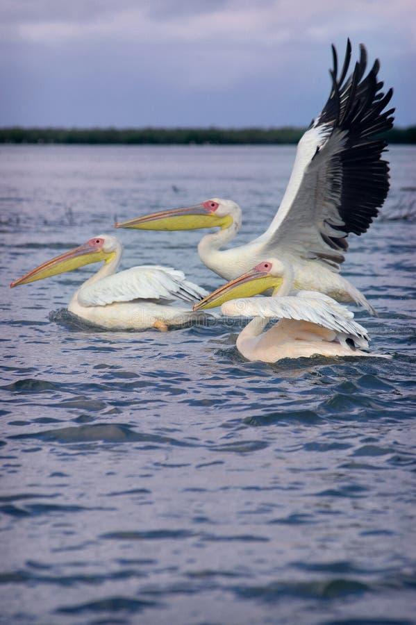 Pelikane in Senegal lizenzfreie stockfotos