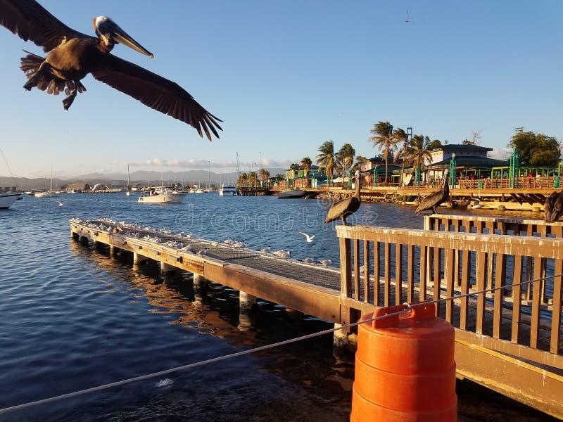 Pelikane und Pier im La Guancha in Ponce, Puerto Rico stockbilder