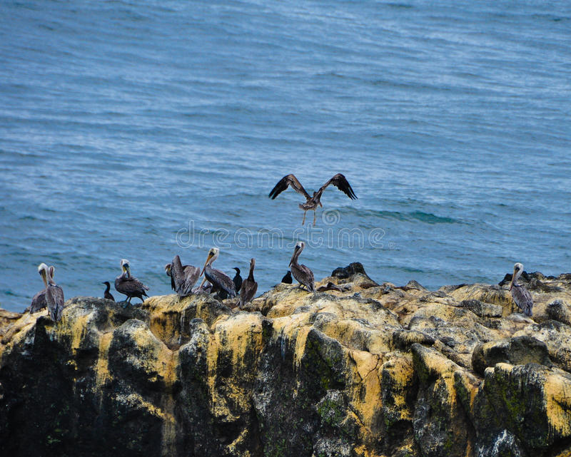 Pelikane am Yaquina Kopf stockfotos
