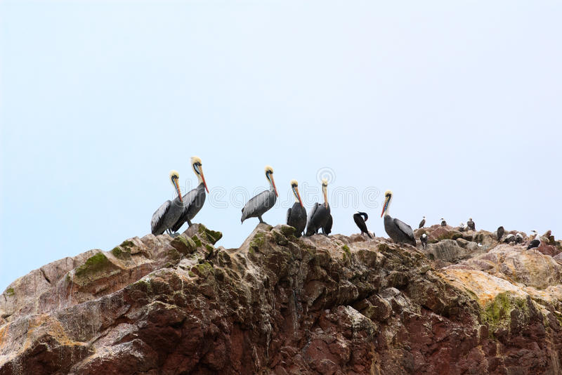 Pelikanen, Aalscholvers en Domoren op de rotsen royalty-vrije stock fotografie