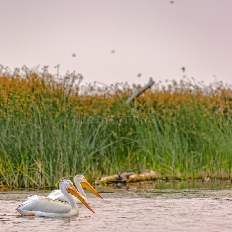 Pelikanen bij Meer Utah tegen grassen en hemel royalty-vrije stock afbeelding