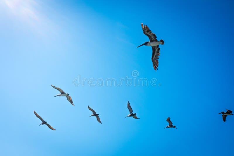 Pelikanen in Californië stock foto's