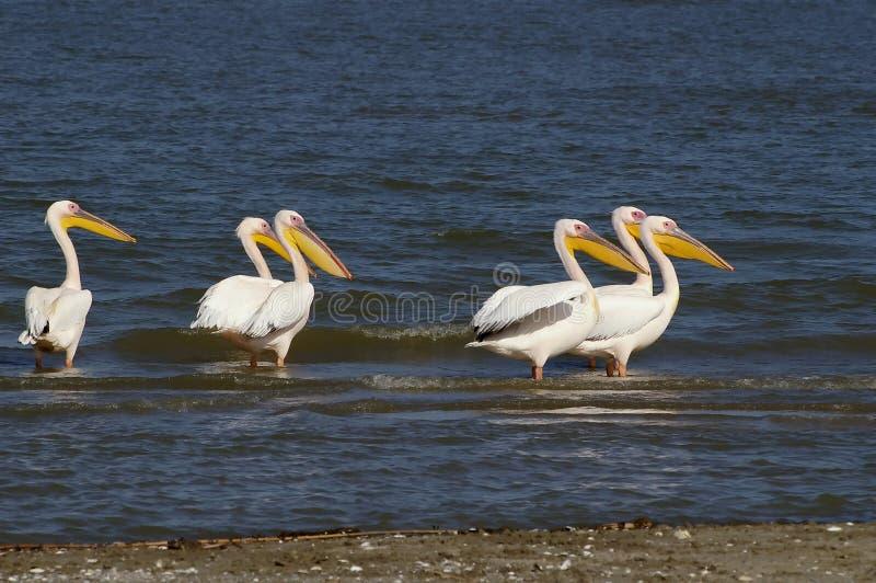 Pelikanen in de lijn royalty-vrije stock afbeelding