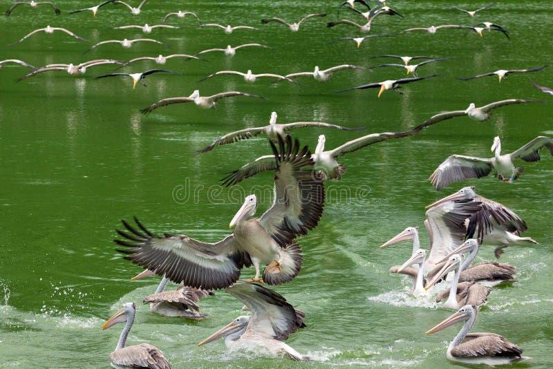 Pelikanen die in de hemel en op het water vliegen stock foto's