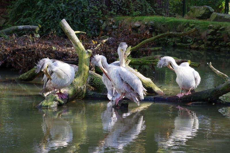 Pelikanen die door het water zitten stock fotografie