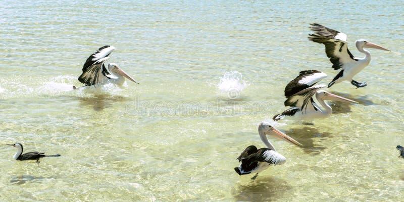 Pelikanen die in het water zwemmen stock afbeeldingen