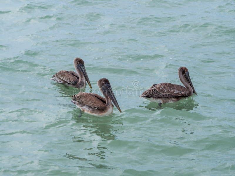 Pelikanen die op het water drijven, die vissen vangen, die in het overzees vliegen stock afbeelding