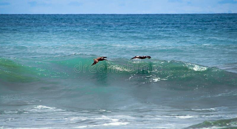 Pelikanen die over de golven surfen stock foto