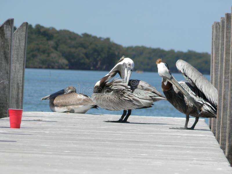 Pelikanen die veren schoonmaken royalty-vrije stock fotografie