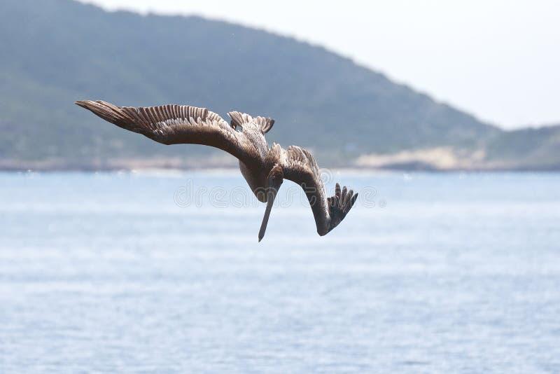 Pelikanen die voor vissen bombarderen stock foto