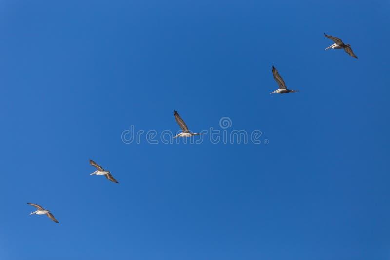 Pelikanen die in vorming vliegen royalty-vrije stock afbeelding