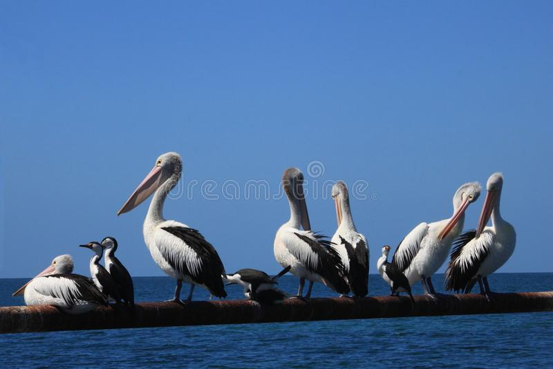 Pelikanen en andere groep zeevogels in het blauwe overzees stock foto's