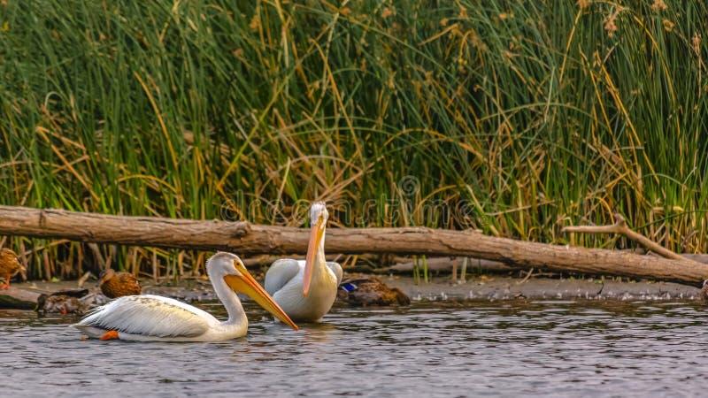 Pelikanen en eenden in meer Utah tegen grassen royalty-vrije stock fotografie