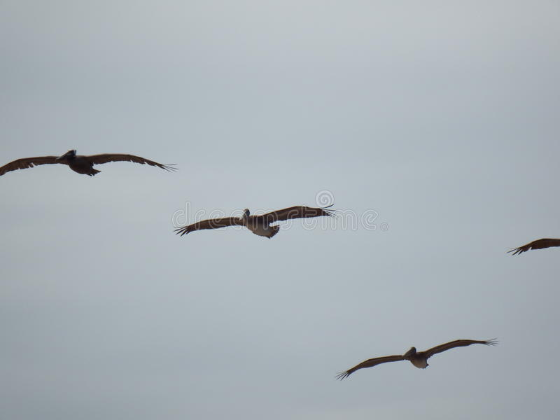 Pelikanen het Vliegen stock fotografie