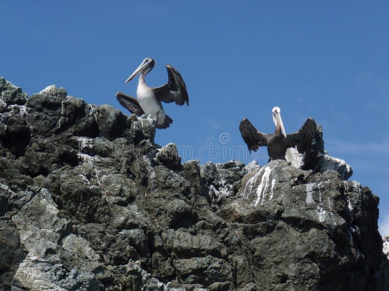 Pelikanen op de rotsen stock afbeeldingen