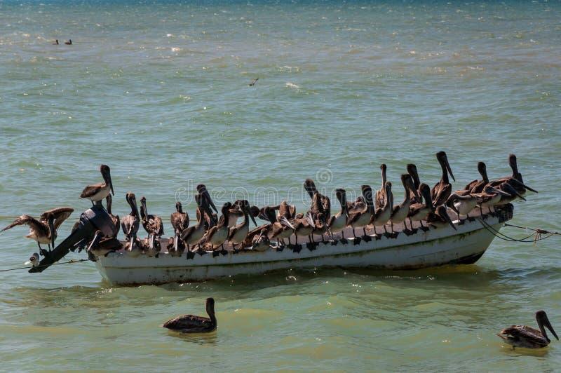 Pelikanen op een oude boot stock foto