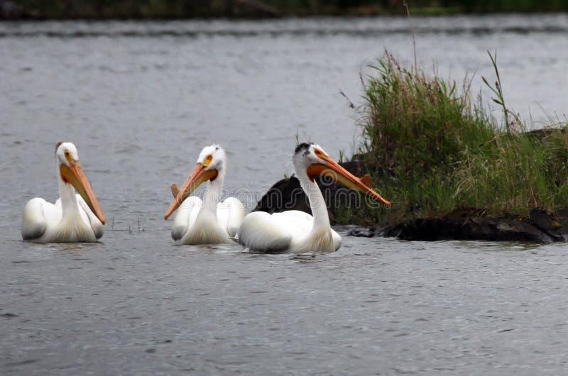 Pelikanen op Meer van het Hout royalty-vrije stock foto's