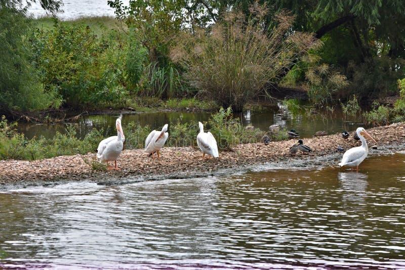 Pelikanen op sandbar stock foto