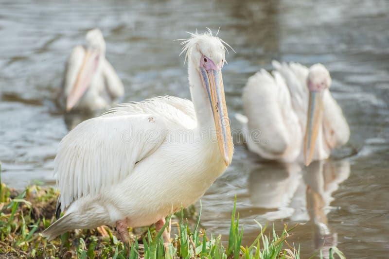 Pelikanen op Water stock foto's