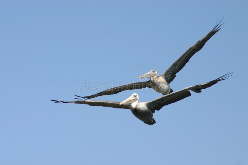 Pelikanen in tandomvlucht royalty-vrije stock afbeelding