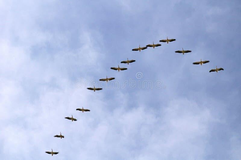 Pelikanen tijdens de vlucht stock afbeelding