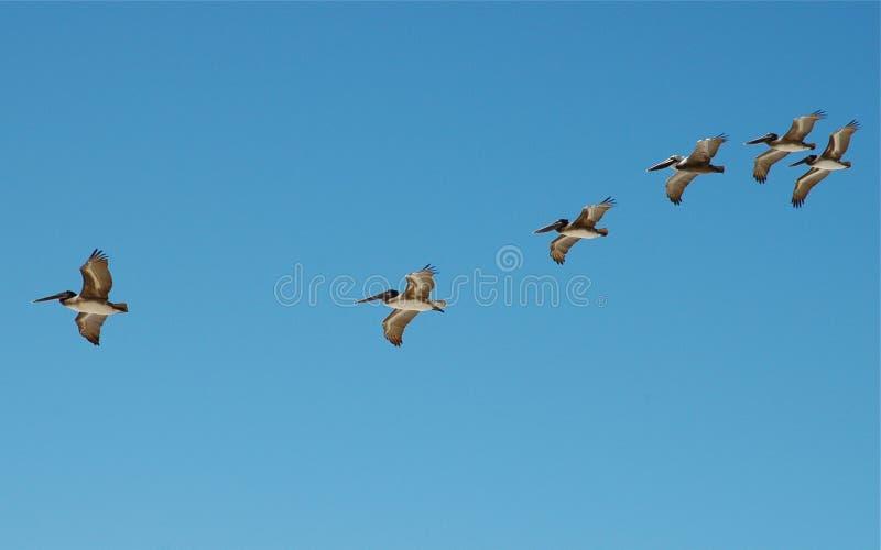 Pelikanen tijdens de vlucht Los Cabos royalty-vrije stock fotografie