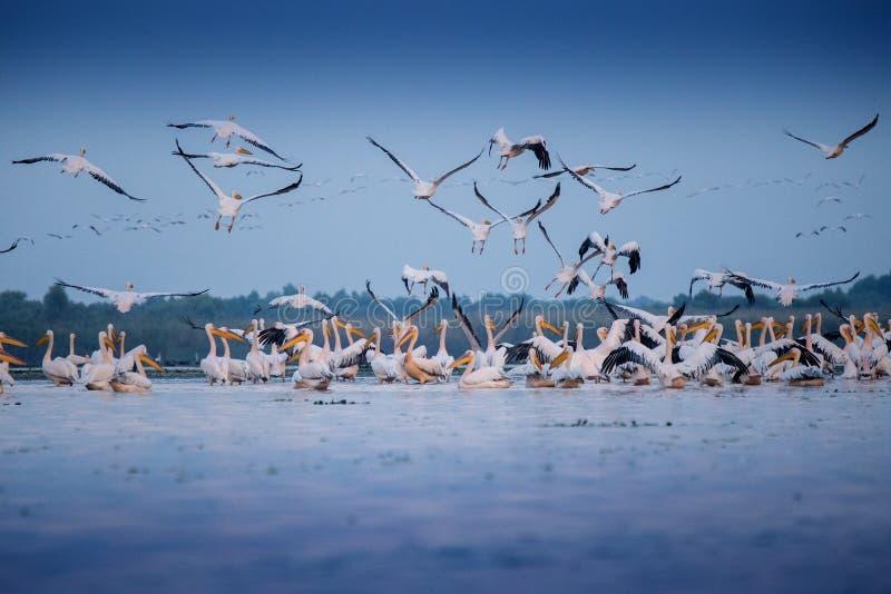 Pelikanen van de Delta van Donau royalty-vrije stock foto