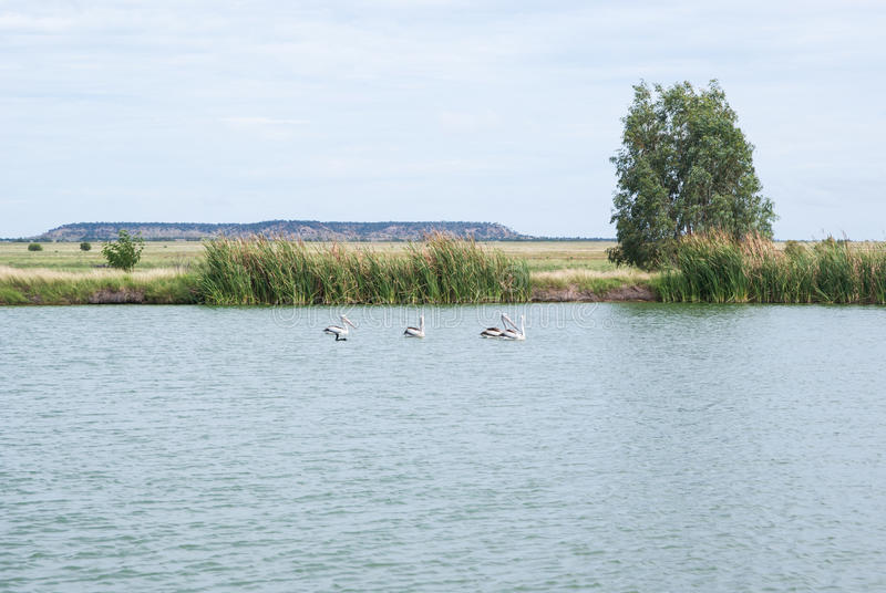Pelikanen in vijver met blauwe hemelachtergrond royalty-vrije stock foto's