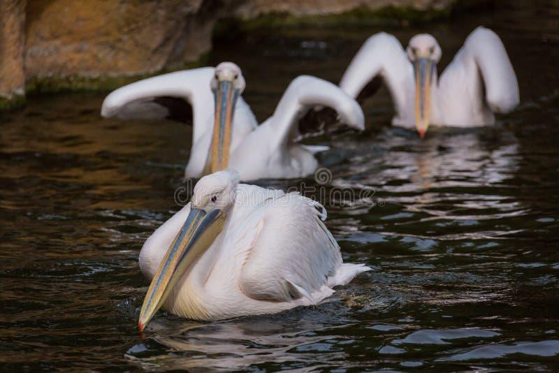 Pelikanen in water royalty-vrije stock fotografie