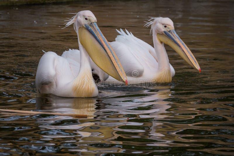 Pelikanen in water stock afbeelding