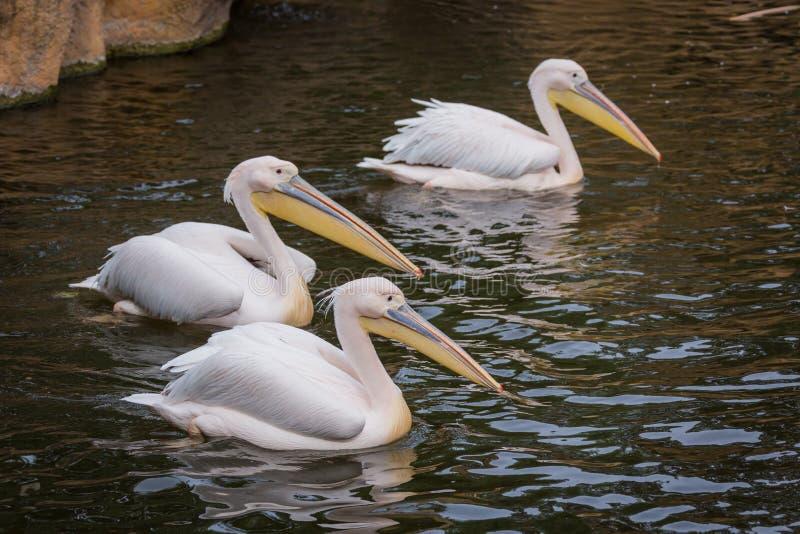 Pelikanen in water stock fotografie