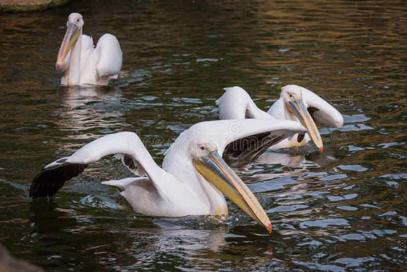 Pelikanen in water royalty-vrije stock afbeelding