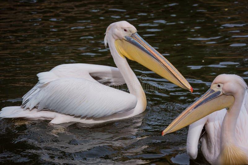 Pelikanen in water stock foto