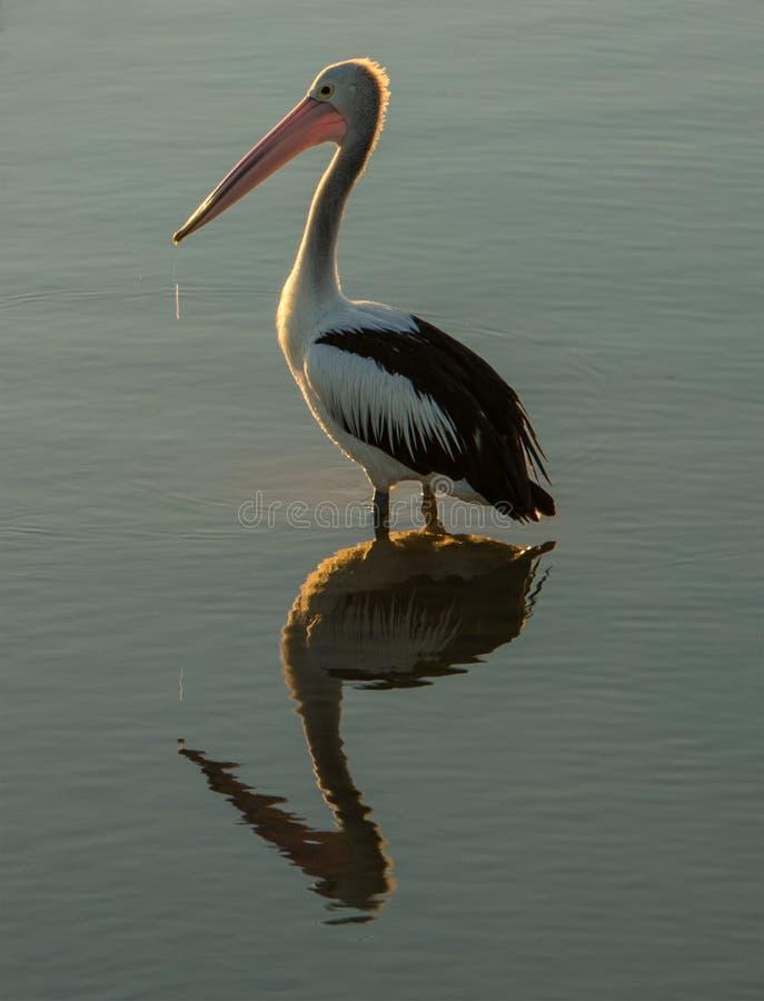 Pelikanenbezinning royalty-vrije stock afbeelding