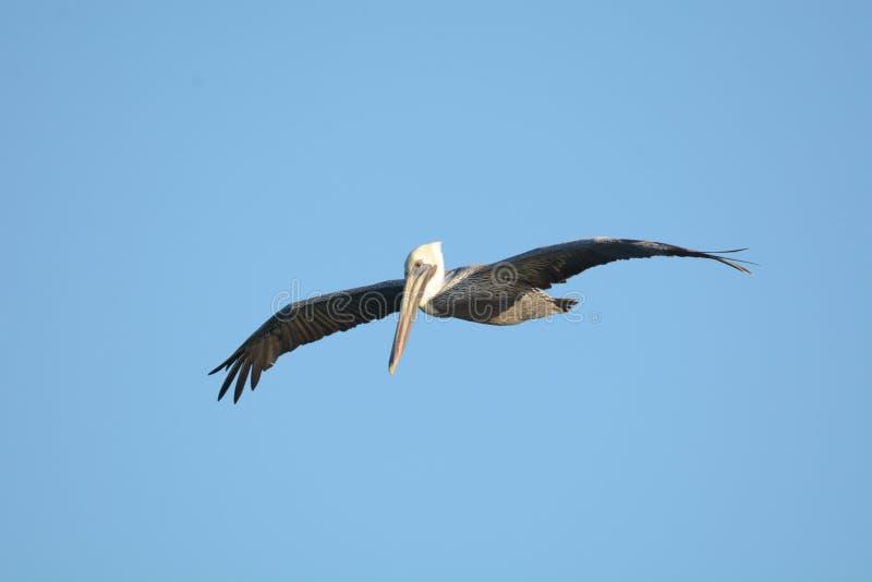 Pelikanenvlieg voor vele mijlen in onderzoek naar kleine aas-vissen stock afbeeldingen