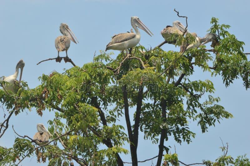 Pelikanfågel i zoo royaltyfria foton