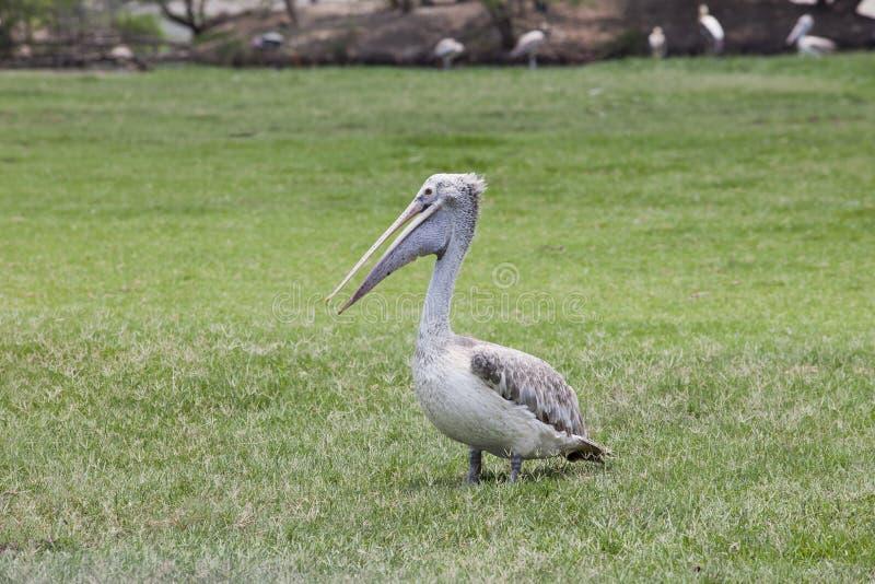 Pelikanfågel på fält för grönt gräs royaltyfri bild
