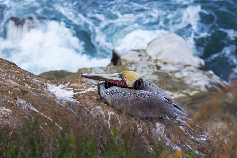 Pelikanfågelsammanträde vaggar på ovanför Stilla havet La Jolla Kalifornien arkivfoton