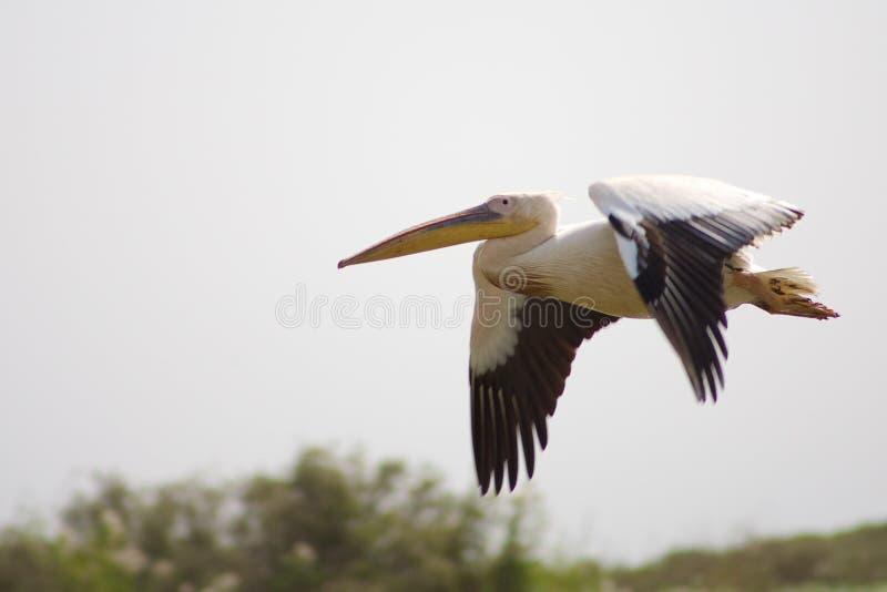 Pelikanfliegen in Senegal lizenzfreie stockbilder