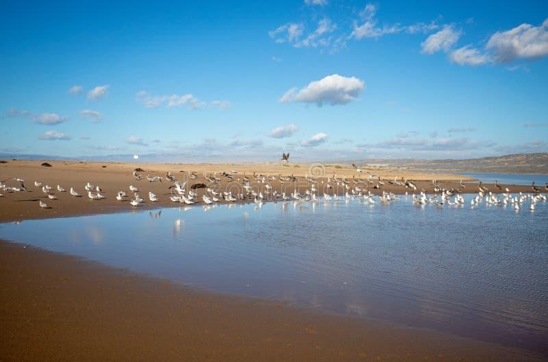 Pelikanflyg över seagulls på den Stillahavs- och Santa Maria floden på Rancho Guadalupe Sand Dunes på central kust av Kalifornien royaltyfri bild