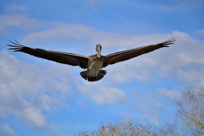 Pelikangleiten lizenzfreies stockfoto