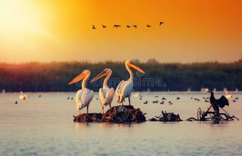 Pelikankolonie in Donau-Delta Rum?nien Das Donau-Delta ist zur größten Kolonie von Pelikanen außerhalb Afrikas Haupt lizenzfreies stockbild