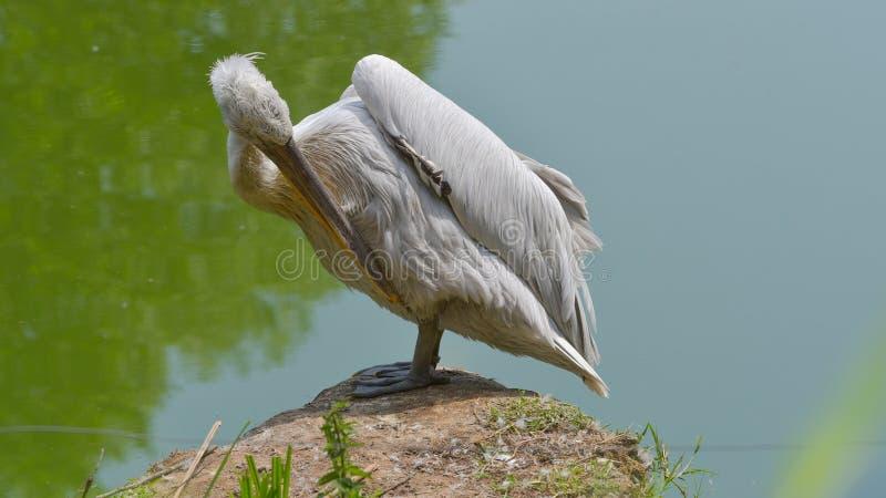 Pelikanmann, der seine Federn säubert lizenzfreies stockbild