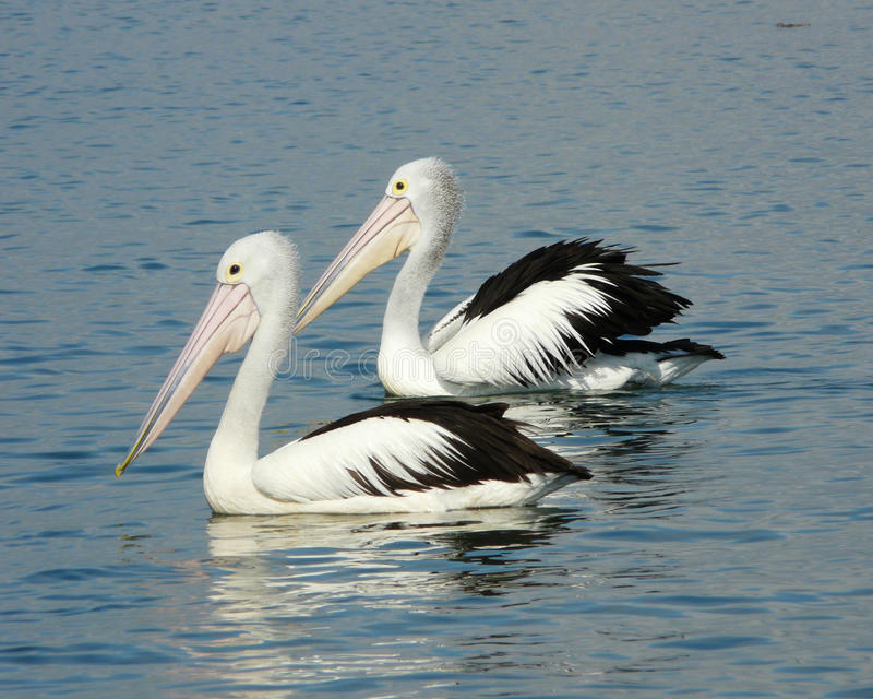Pelikanpaare stockfotografie