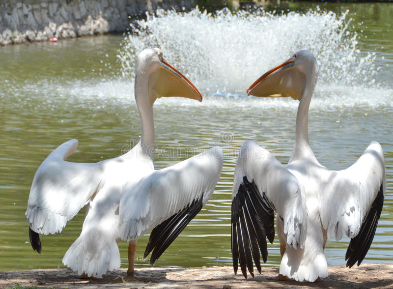 Pelikanpaare stockfoto