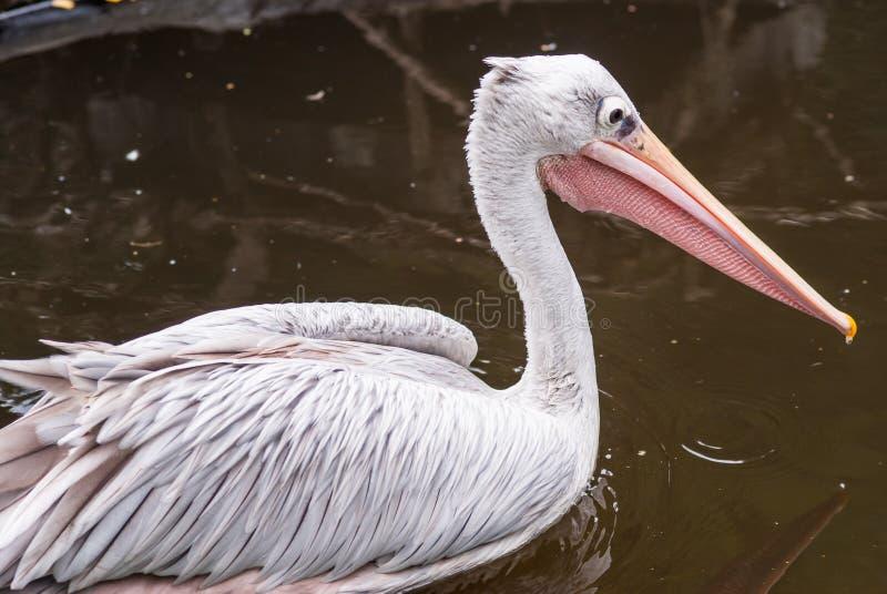 Pelikanporträt am Zoo stockbilder
