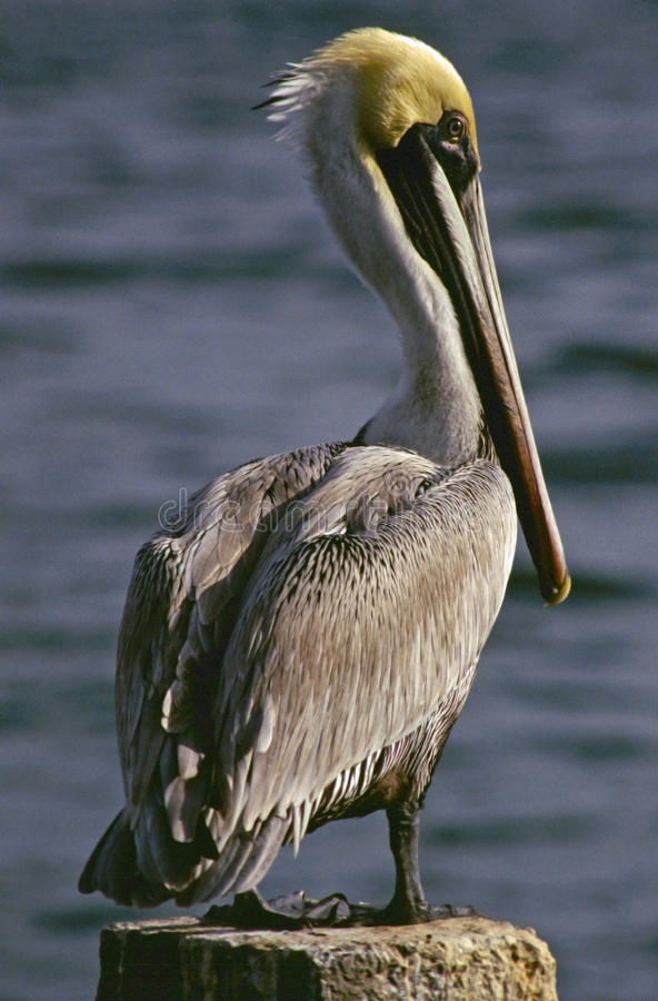 Pelikanprofil royaltyfri bild