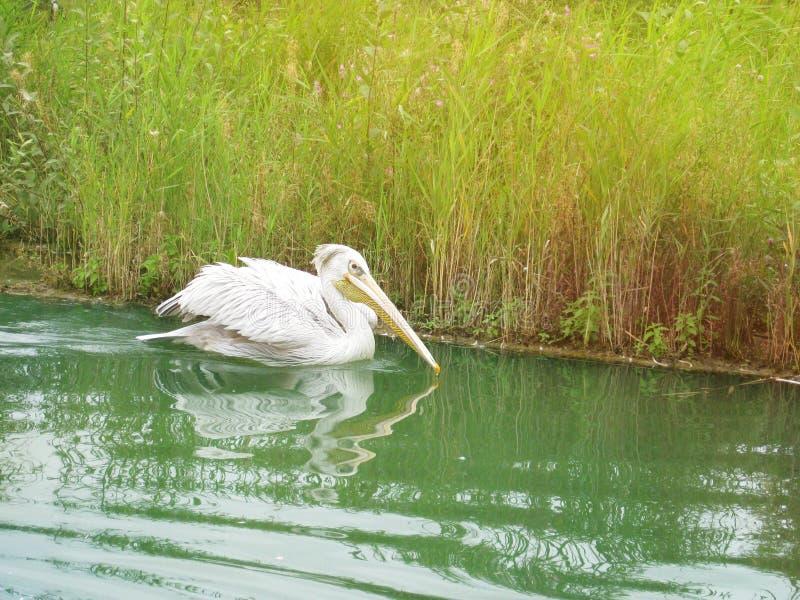 Pelikanschwimmen in einem Fluss lizenzfreies stockfoto