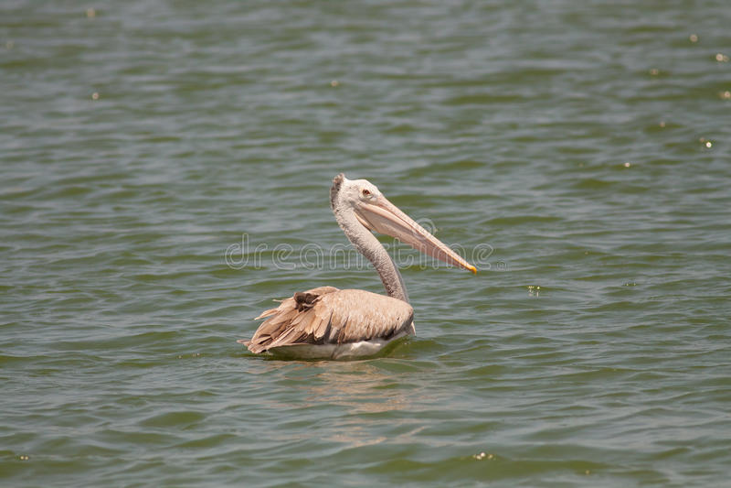 Pelikanschwimmen im Fluss stockbild